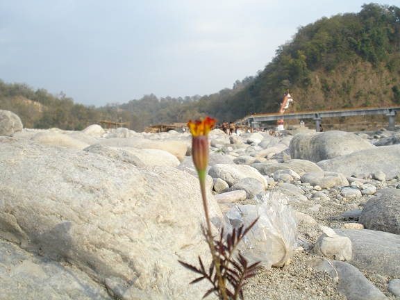 kosi riverbed flower