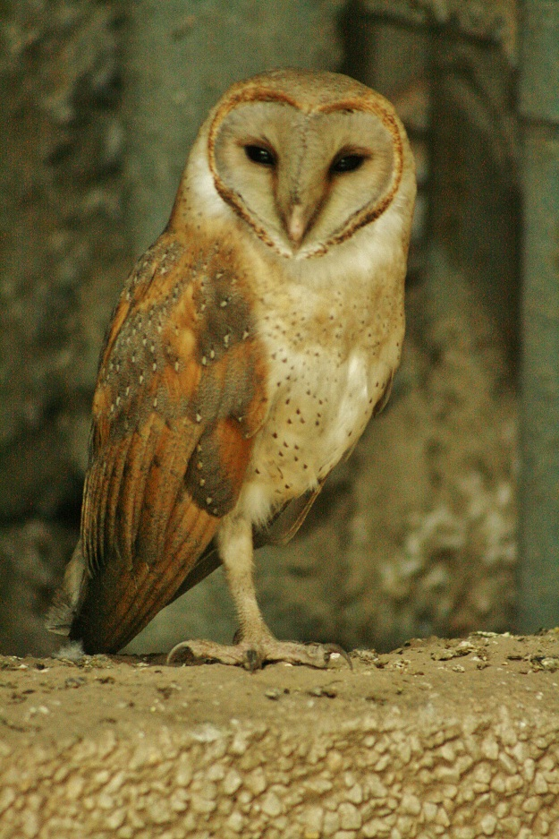barn owl in gurgaon