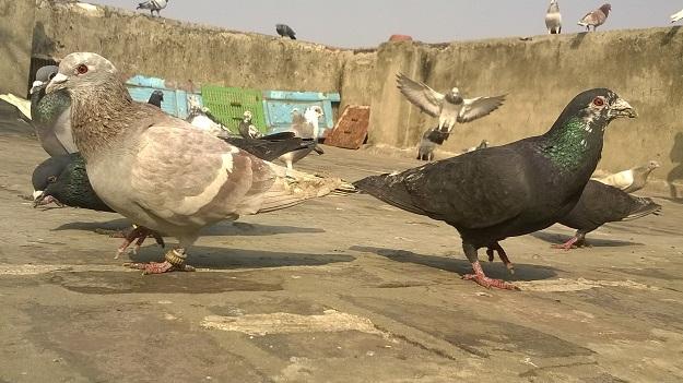 kabootarbazi old delhi