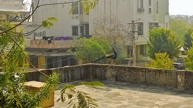 peacock on rooftop jaipur inn