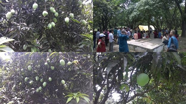 rataul mangoes