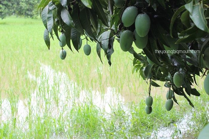 mango orchard trip delhi