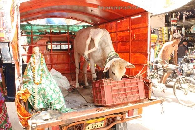 cow paharganj