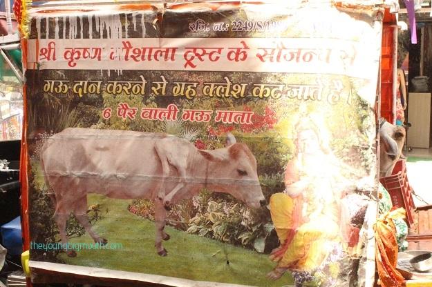 cows paharganj