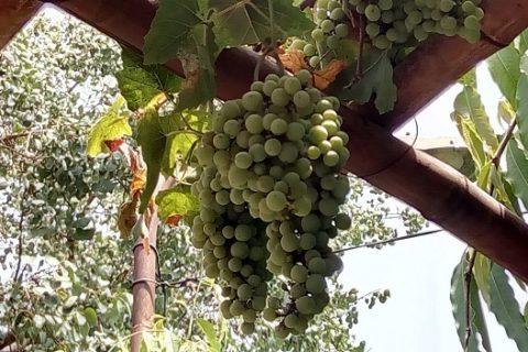 growing grapes in delhi