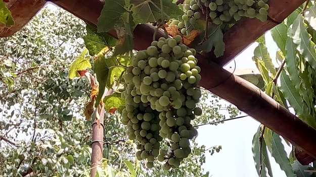 growing grapes in delhi