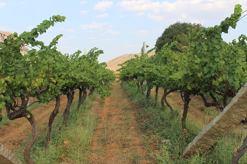bangalore soma vines
