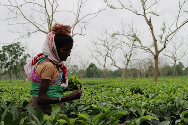 migrant workers in tea estates